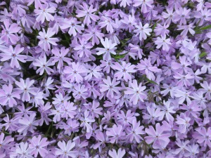Phlox, our garden, May 2014