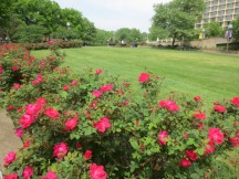 Roses in Rosslyn